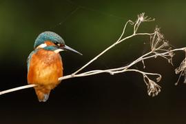 Kingfisher 80034.jpg