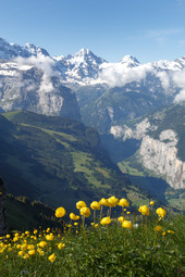 Globe flowers in habitat