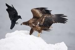 White-tailed sea-eagle 96641.jpg