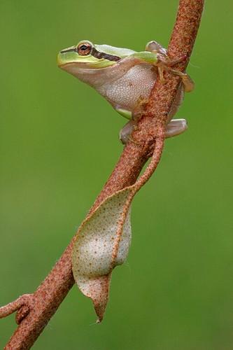 Stripeless tree frog