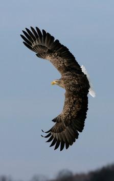 White-tailed sea-eagle 712631.jpg