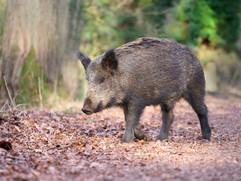 Wild boar J1732.jpg