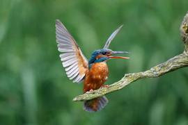 Kingfisher D3392.jpg