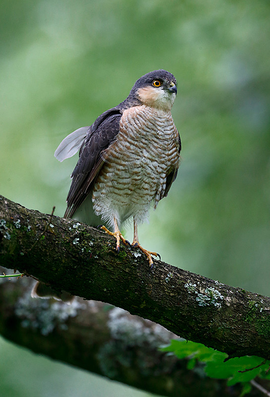 Sparrowhawk E7319