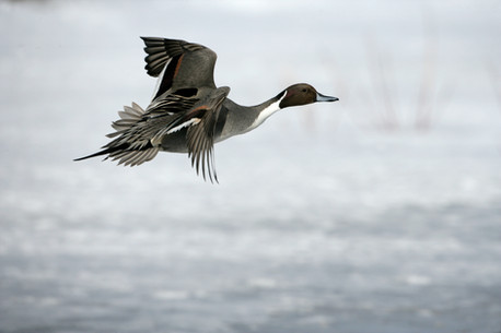 Northern pintail 71167.jpg