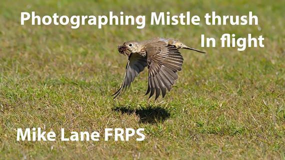 Photographing Mistle thrush in flight