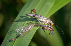 Scorpion fly with prey