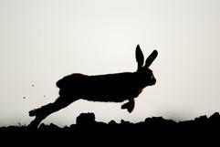 European brown hare B0722.jpg