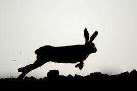European brown hare B0722.jpg