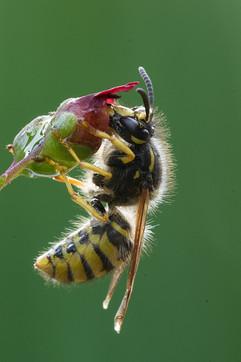 Tree Wasp nectaring