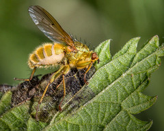 Fly Infected with Entomophthora muscae