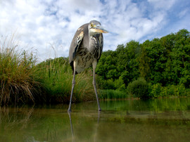Grey heron B1411.jpg