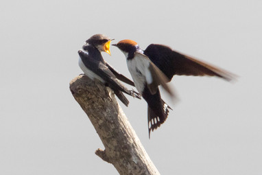 Wire-tailed Swallow feeding young