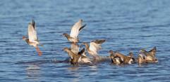 Redshanks taking off