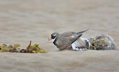 Ringed plover