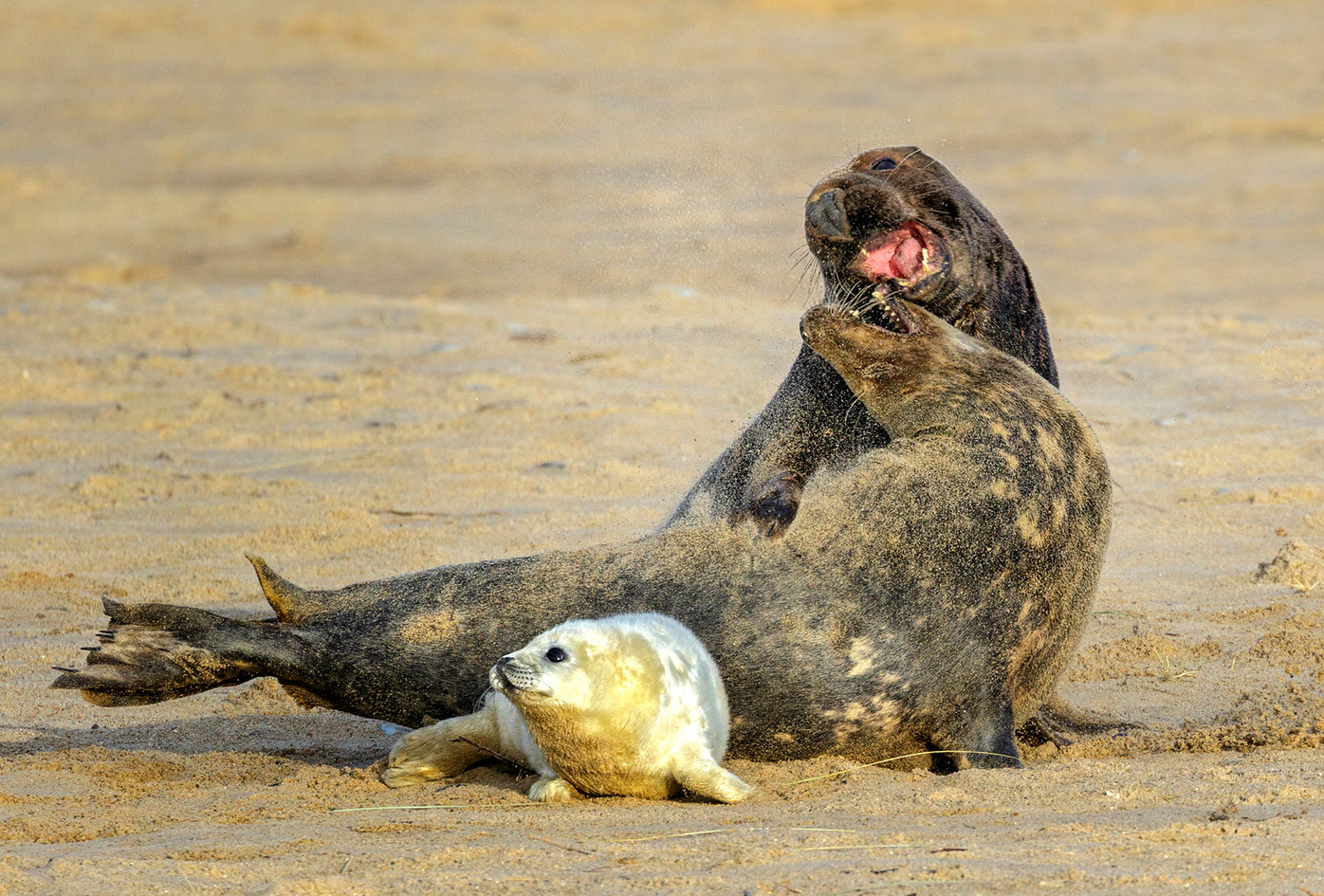 Grey seal cow spurning bull