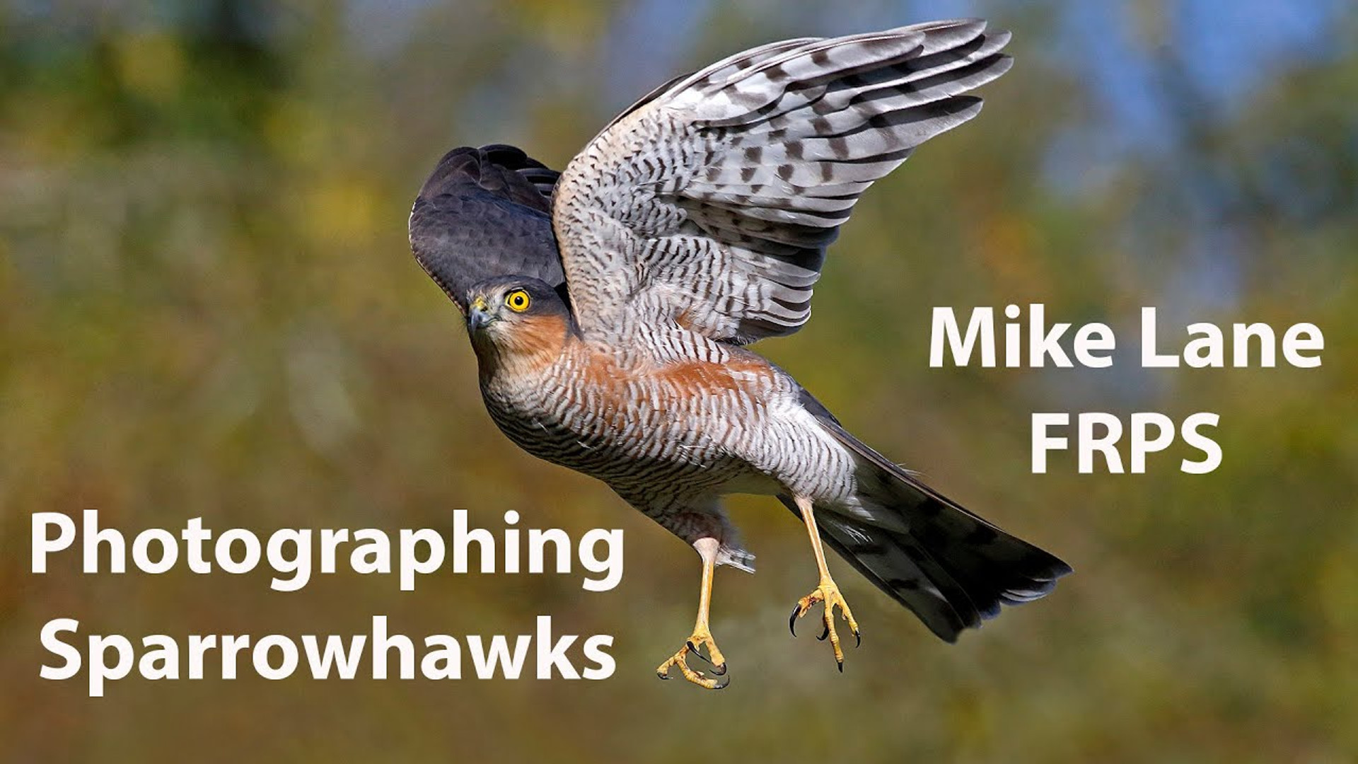 Photographing Sparrowhawks