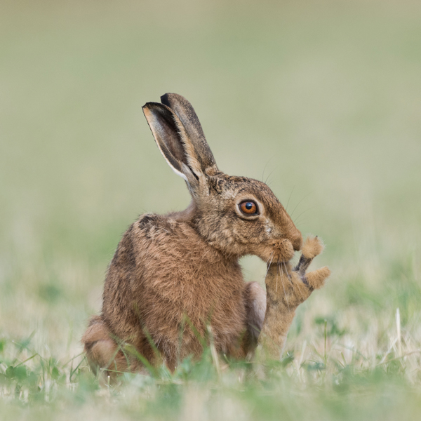 Brown Hare Grooming600