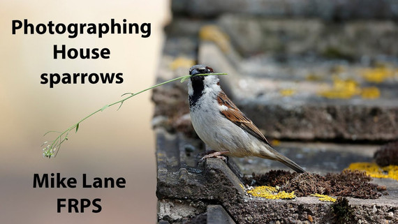 Photographing House sparrows