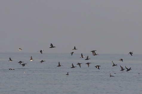 Scoters and Long-tailed duck