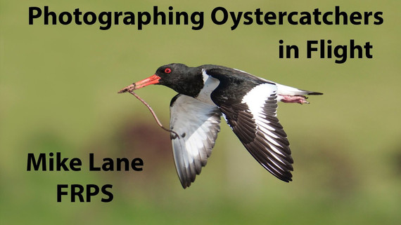 Photographing Oystercatchers in Flight