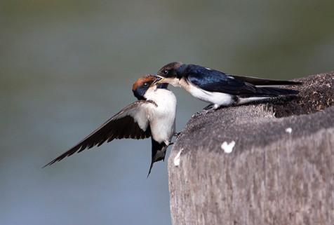 White-tailed swallows