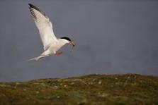 Common tern 50735.jpg