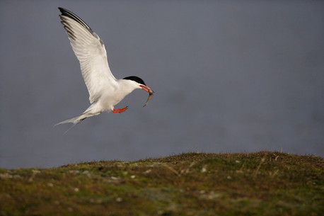 Common tern 50735.jpg