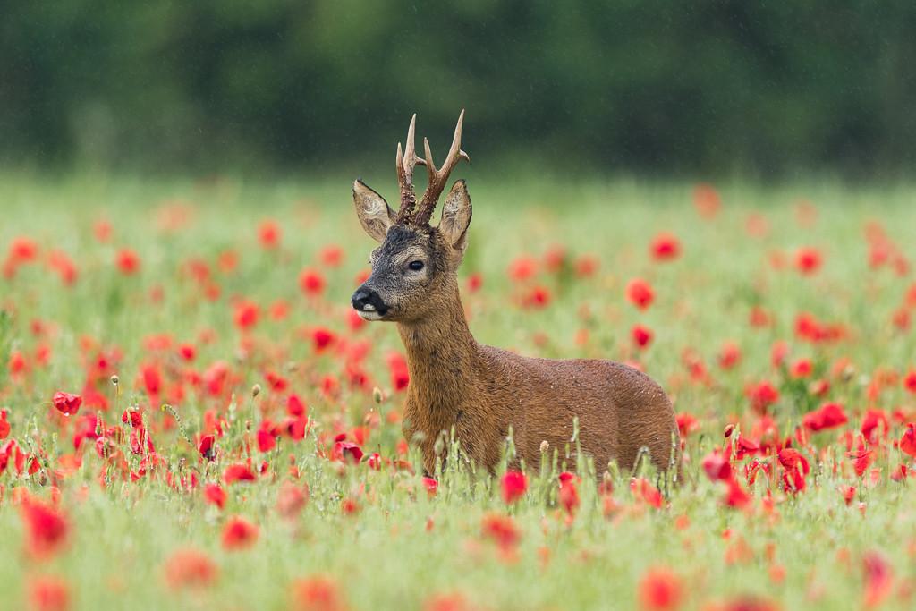 Roe deer in Poppies