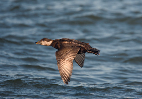 Common scoter 80329.jpg