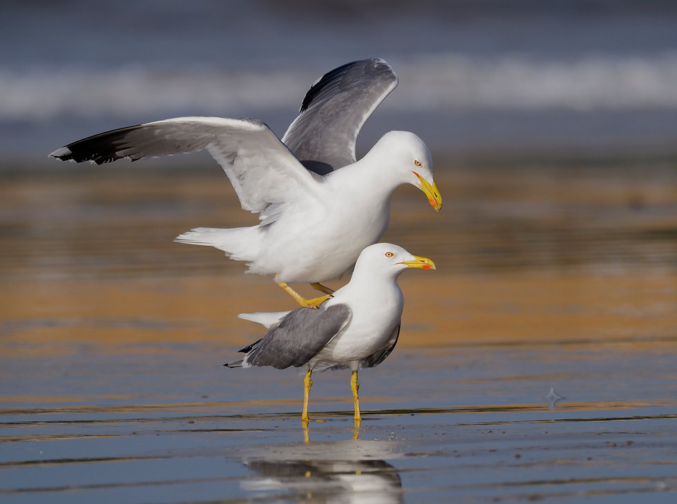 Yellow-legged gull J2370.jpg