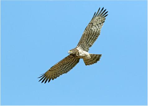 Short-toed eagle in flight