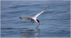 Tern with sand eel