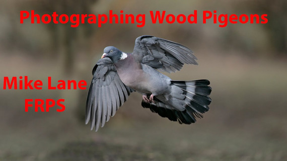 Photographing Wood pigeons