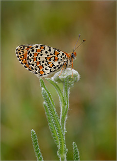 Spotted-fritillary butterfly