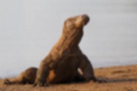 Komodo dragon B2538.jpg