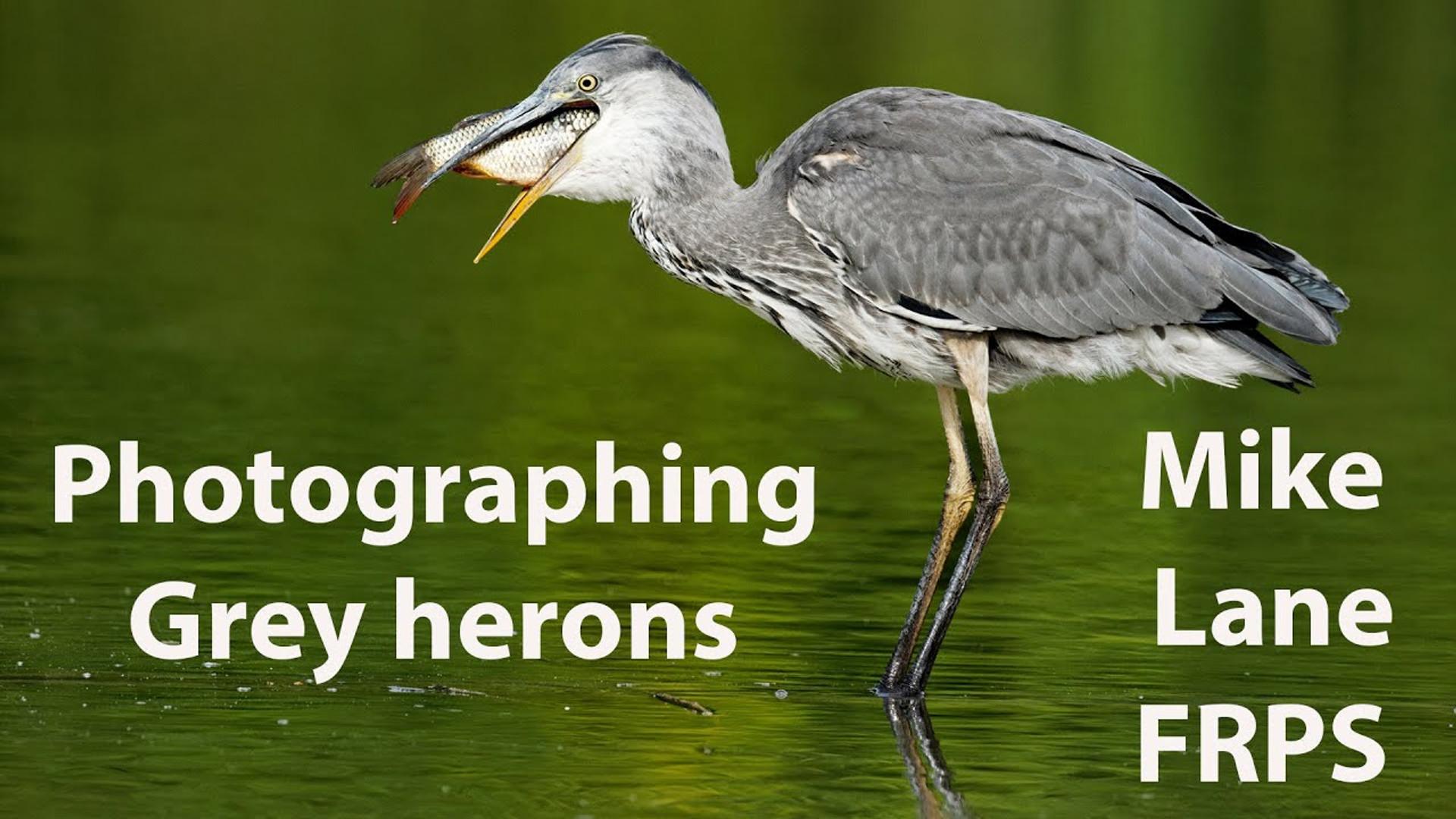 Photographing Grey herons
