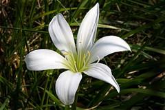 Eater lily zephyranthes atamasco