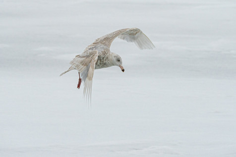 Young Glaucous gull