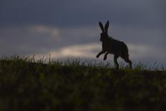European brown hare H6142.jpg