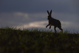 European brown hare H6142.jpg