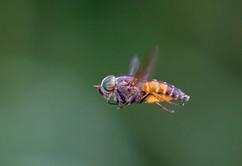 Bright horsefly
