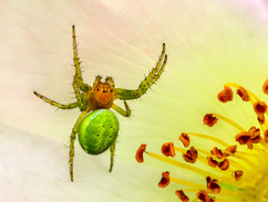 Arienella cucrbitina web