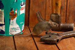 House mouse 81079.jpg