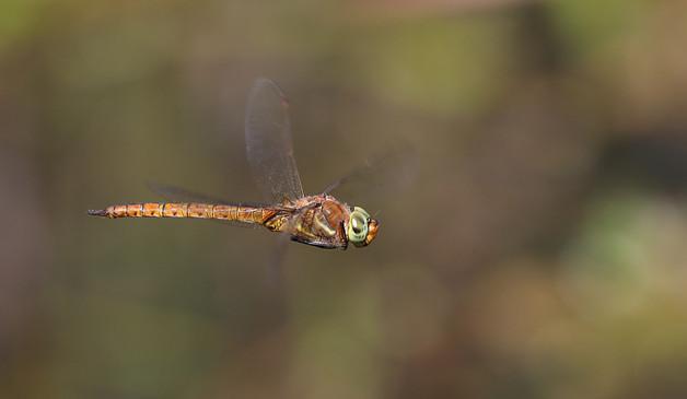 Norfolk hawker