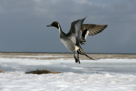 Northern pintail 71151.jpg