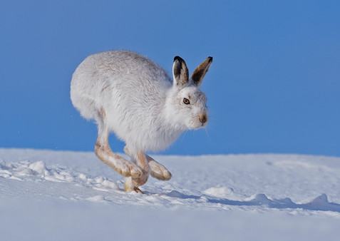 Mountian hare