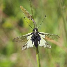 Ascalaphus libelluloides