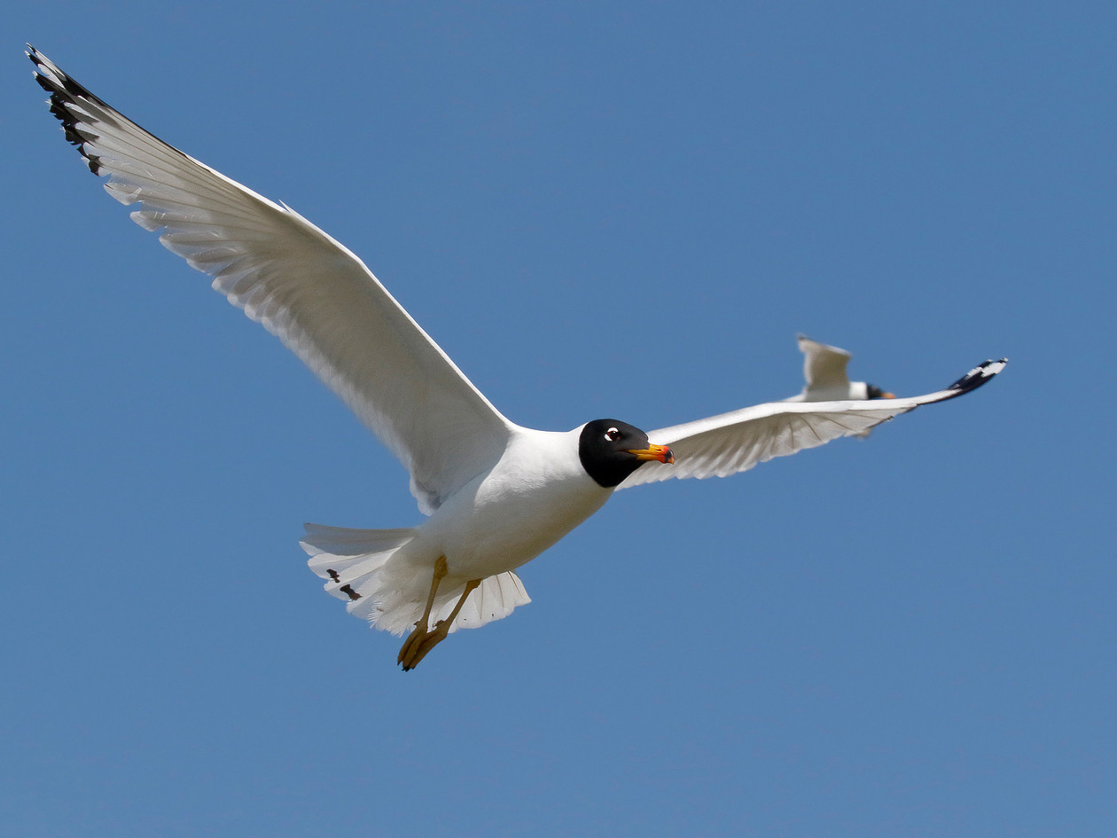 Pallas's (aka Great black-headed) gull