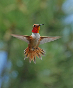 Rufous hummingbird male